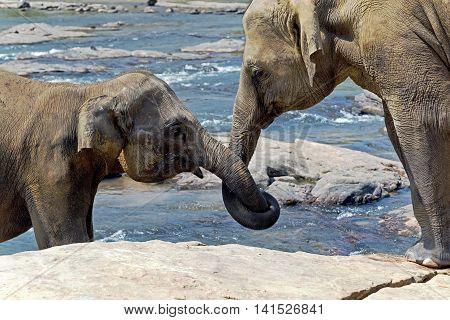 Elephant Kissing Represents Love Sri Lanka