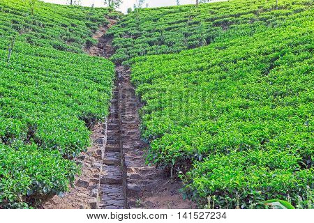 Fields Of Ceylon Tea Plantation In Sri Lanka.