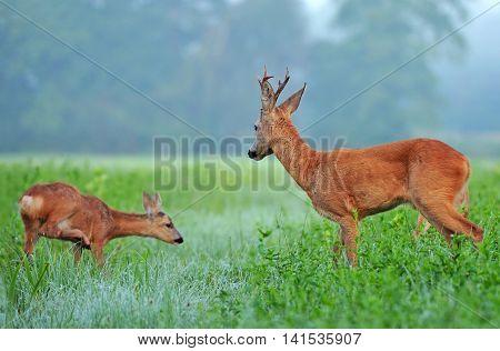 Wild roe deer and roe deer cub in a field
