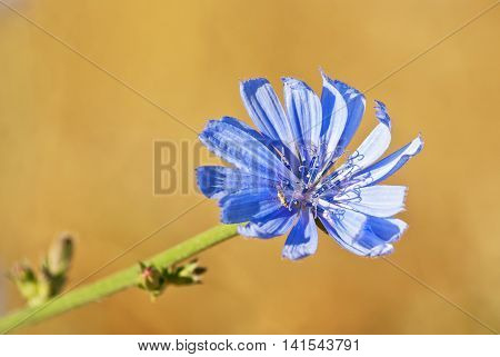 blue flower of common chicory close up