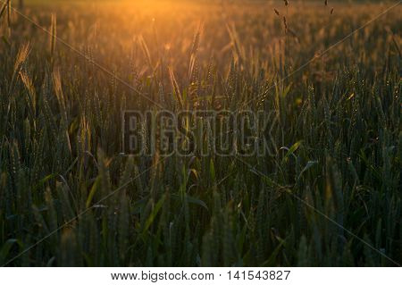 Green Wheat Field In The Sunset Time