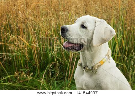 White young Labrador dog in front of a field in portrait with beautiful necklace