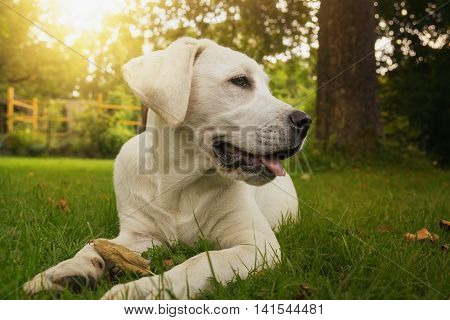 Young white labrador puppy sitting at sunset in the garden