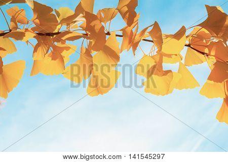 Vibrant fall yellow golden ginkgo biloba tree foliage on blue sky, retro toned