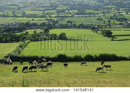 Farmland landscape with livestock in Axe Valley Devon