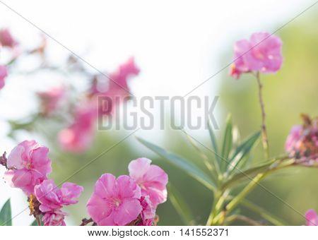 Oleander bush. Bright pink oleander flowers. Nerium oleander tree in blossom.