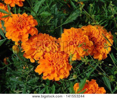 Flowers of orange marigold bloom in the garden