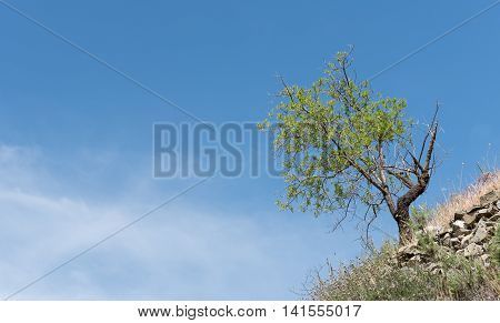 Lonely almond tree with green leaves at the ege of a of a hill and blue cloudy sky