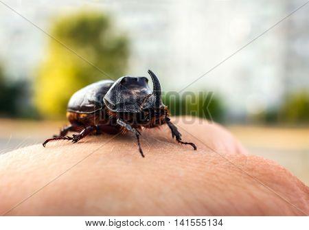 rhinoceros beetle giant on a man's hand