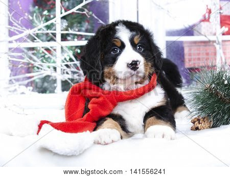 Bernese Mountain Dog puppy christmas