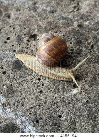 Burgundy snail (Helix, Roman snail, edible snail, escargot) crawling on the concrete