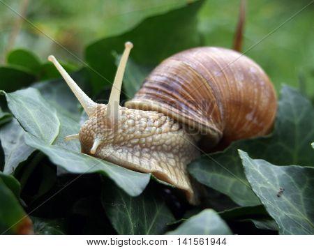 Burgundy snail (Helix, Roman snail, edible snail, escargot) after crawling ivy leaves