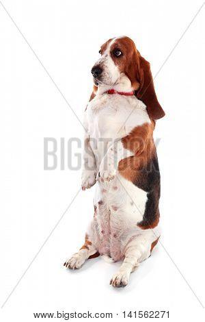 Basset hound dog on white background