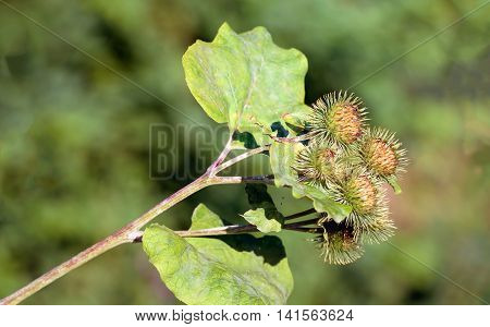 Closeup of a Lesser Burdock or Arctium minus plant growing in a Dutch nature reserve in the summer season.