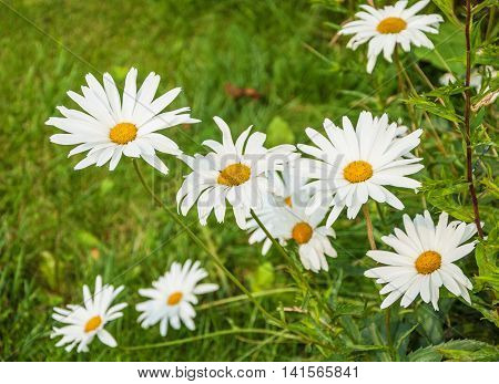 Flowers chamomile growing on the summer meadow