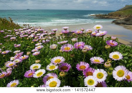 A host of colourful wildflowers on the cliffs above a Cornish beach and ocean view in Cornwall.