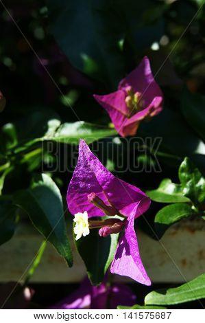 Purple bougainvillea flowers on a green background