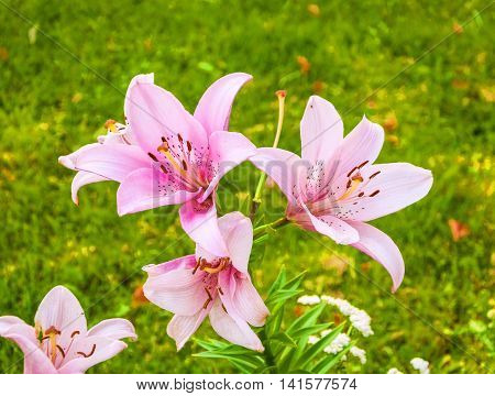 Delicate pink Asiatic lilies growing on a bed in the garden