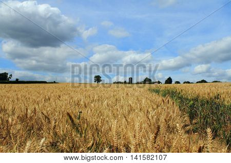 field of barley in front of blue sky with white clouds and farm buildings