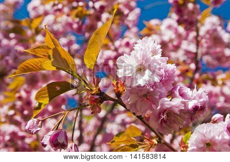 Cherry trees in full blossom on a sunny day