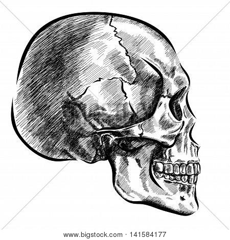 hand drawn anatomy skull with different tones and lines. Vector EPS
