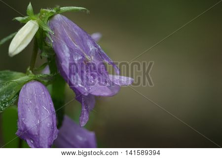 Detail of Bellflower (Campanula) covered by raindrops