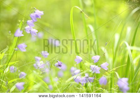 Bluebell In Grass