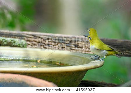 Yellow Bird Eye white natural background blur green.