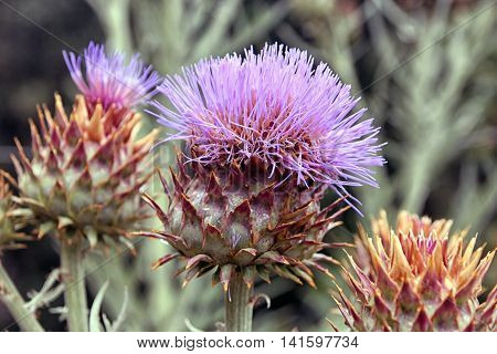 flower bud of Cardoon or Cynara cardunculus or artichoke thistle closeup