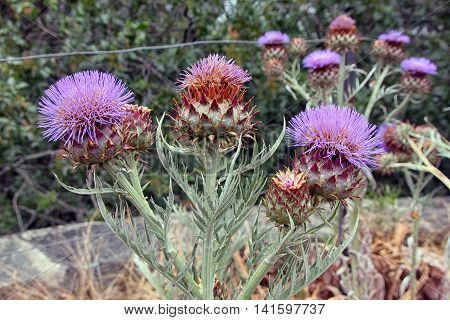 flowers of Cardoon or Cynara cardunculus or artichoke thistle