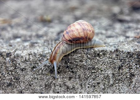 brown long big snail round shell with stripes and with long horns crawling down the edge of stone closeup
