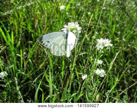 A small white cabbage butterfly (Pieris rapae) searches for nectar