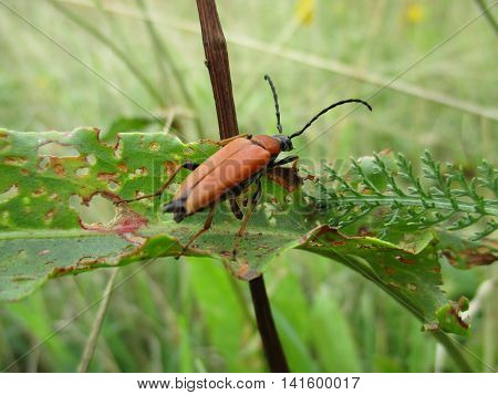 A red soldier beetle (Rhagonycha) with filiform antennae climbs above a damaged leaf blade