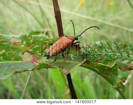 A red soldier beetle (Rhagonycha) with filiform antennae climbs above a damaged leaf blade