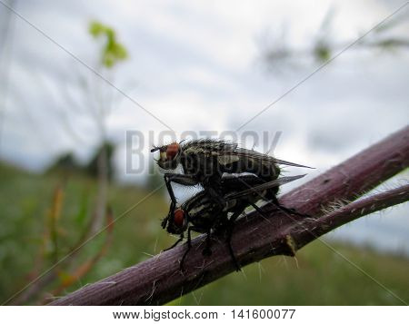 Two flesh flies (Sarcophagidae) mating in the afternoon on a plant stem