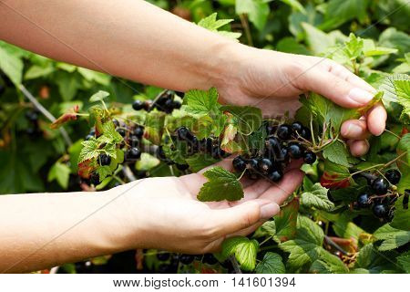 Close up photo of person picking blackcurrants in domestic garden