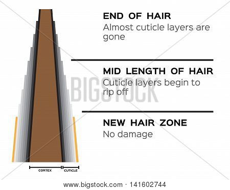 condition of hair skin layer . new hair , mid length and end of hair vector graphic