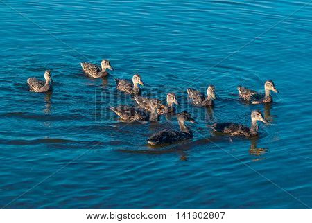 Duck family flock swims on lake surface