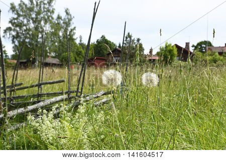 Two flower balls (Tragopogon pratensis) standing in a green meadow picture from the North of Sweden.