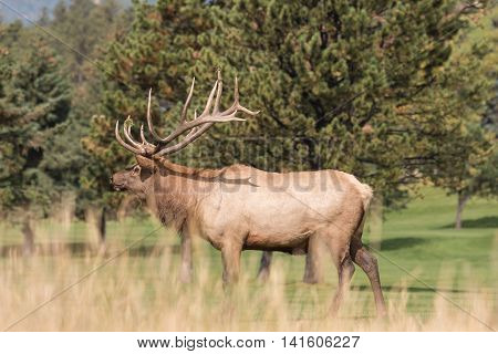a bul elk during the fall rut