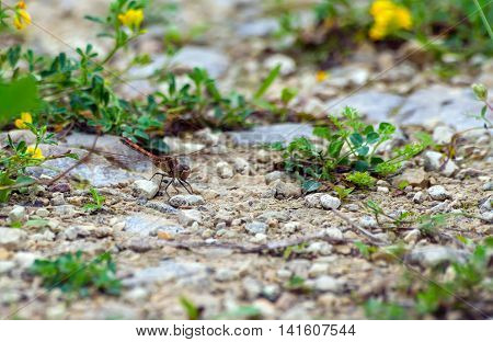 pretty shades of different color dragonfly sits on on the road of small stones, nature, natural, small yellow flowers in the background