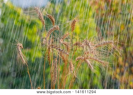 Summer rain and wheat spikelets.  This weather is often the case in Ukraine in July.