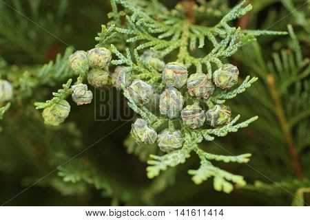 close photo of round seed cones of cedar