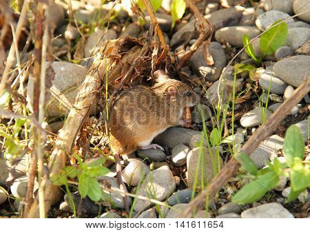cute striped field mouse eating piece of biscuit