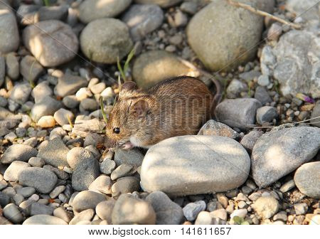 cute striped field mouse on the pebbles