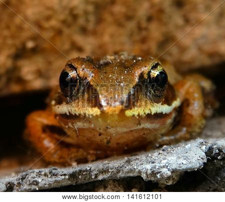 Small Frog on the rocks toad amphibia animals wild nature color brown cold blooded closeup benefit season summer macro eyes