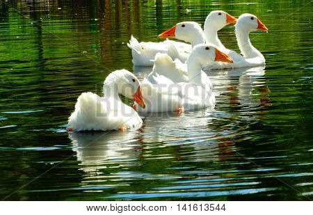 White geese in the water animal fauna nature season summer swim river lake domestic feathers meat food farm