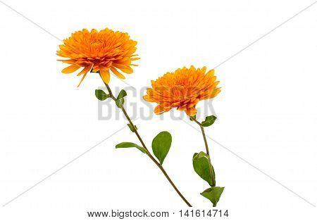 orange chrysanthemum botany  macro isolated on white background
