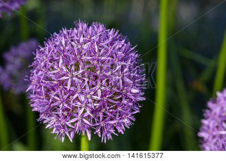 Purple allium in full bloom against a dark background