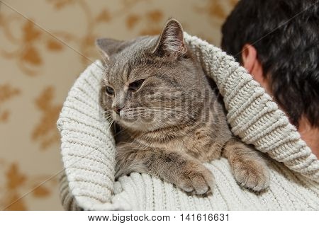 The Scotch Grey Cute Cat is Sitting in the Knitted White Sweater on the Men's Shoulder.Funny Look.Animal Fauna,Interesting Pet.